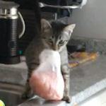 kitten met steak